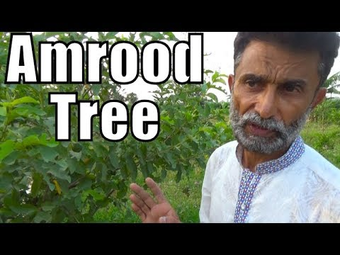 Amrood Tree Complete Information best khaad for guava