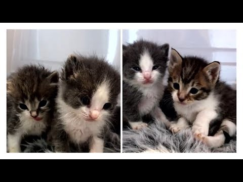 amazing-transformation-of-4-tiny-kittens-never-stop-talking