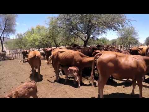 Aucor Livestock Auctions