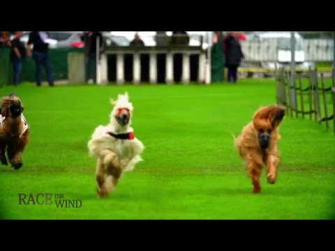 RACE THE WIND 26 - Greyhound Track (Lorch/Germany) • Afghan Borzoi Agar Sloughi Saluki Galgo