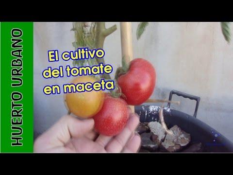 Huertourbano Cultivo Del Tomate En Terraza Youtube