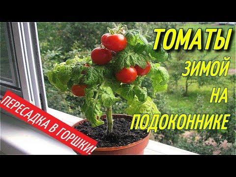 ТОМАТЫ ЗИМОЙ НА ПОДОКОННИКЕ/ПЕРЕСАДКА В ГОРШКИ.