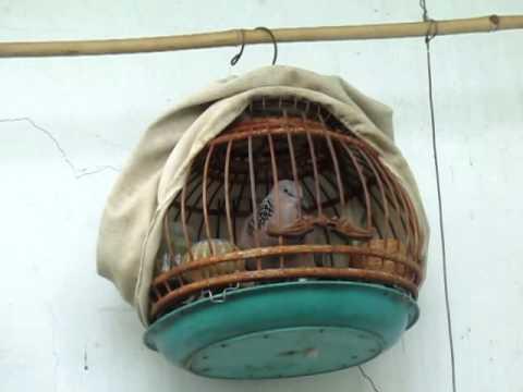 chim cu gáy giộng sấm bầu