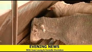 Evening News - [Animal Export + GST War]