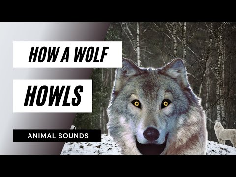 The Animal Sounds: Wolf Howls  Sound Effect  Animation