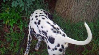 With My Dalmatian In The Neighborhood (hd)