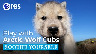 Play with Arctic Wolf Cubs