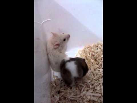 Hamster Mau Kawin