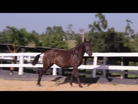 Lote 03 - Nana VR - Cavalos puro sangue Lusitanos - Coudelaria aguilar