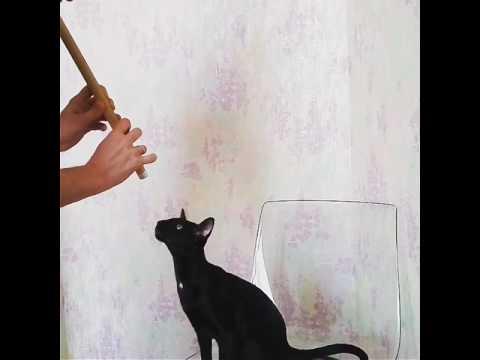 Ориентальный кот Лаврентий поет / Singing oriental cat Lavrentiy