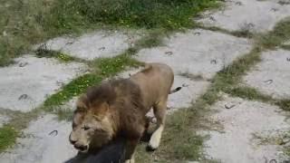 Битва львов в парке Тайган г. Белогорск Крым июнь 2016(Битва львов в парке Тайган г. Белогорск Крым июнь 2016., 2016-07-01T16:16:26.000Z)