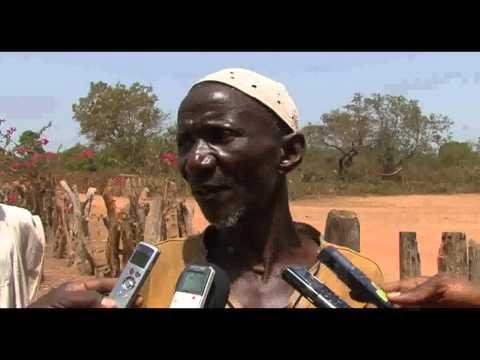 Corte ilegal de árvores de Pau de Sangue em Gunie-Bissau 2014