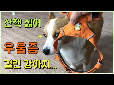 dog-welshogi-depression-symptoms-and-treatment-challenges!!6-hours-at-home.-sorry.