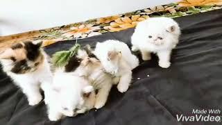 Percian cat in kerala for sale