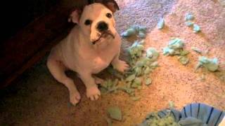 english bulldog puppy looks awful guilty to me