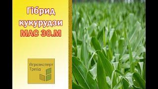 Кукуруза Мас 30 М  🌽 - описание гибрида 🌽, семена в Украине