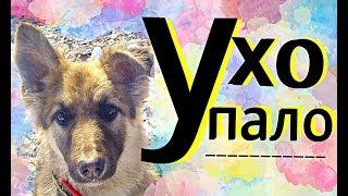 видео Когда у щенка немецкой овчарки встают уши?