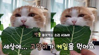 채소 먹는 고양이.. 골골송+케일 먹방 ASMR