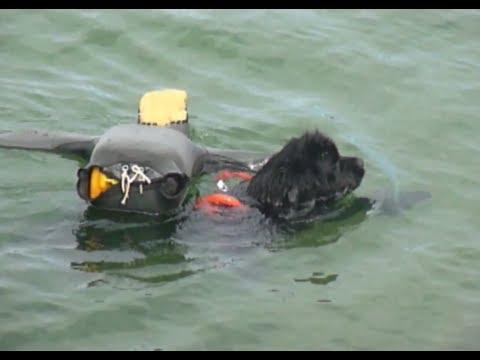 Newfoundland Dog Rescue Newfoundland