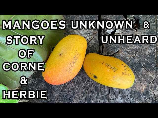Mangoes Less Known: The Untold Story of CORNE & HERBIE MANGOES