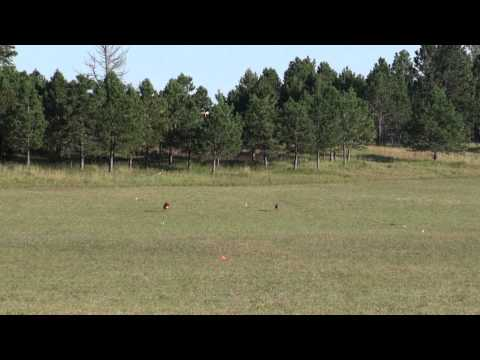 Rhodesian Ridgeback 2011 National Specialty - Lure Coursing