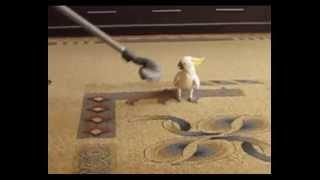 Попугай и пылесос(Какаду пристал к пылесосу. Домашние питомцы, попугай какаду, животные. Дополнительная информация к видео..., 2014-05-25T16:34:54.000Z)