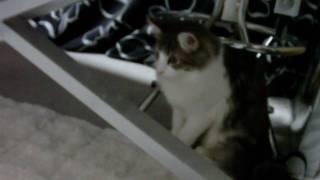 ノルウェイジャンフォレストキャットのメス猫「アン」です。この貫禄で...