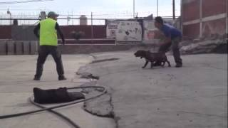 Pitbull Amazing Guard Dog Maximo By Xtreme-kennel