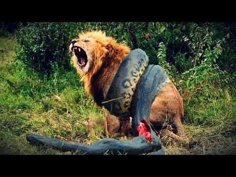 Download TOP 14 CRAZIEST Animal Fights Caught  on camera * Amazing video