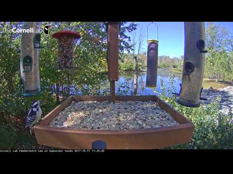 Downy Woodpecker Makes The Rounds (Literally) On The Cornell Feeders – Oct.17, 2017