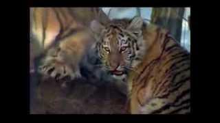 Тигр на охоте(, 2013-09-14T16:05:37.000Z)