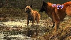 Laekenois - Belgischer Schäferhund: Informationen zur Rasse