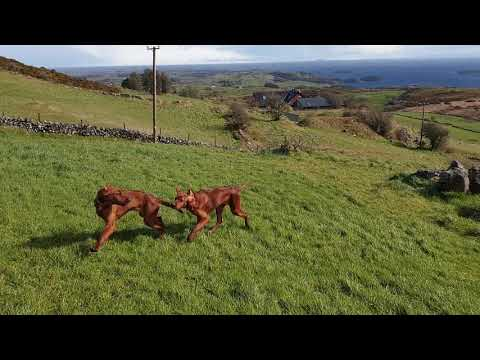 4 Months Old Irish Setter Pups Running Outside and Recall good