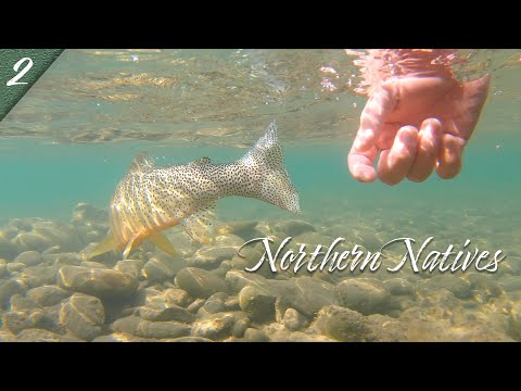 NORTHERN NATIVES | Fly Fishing For Native Cutthroat