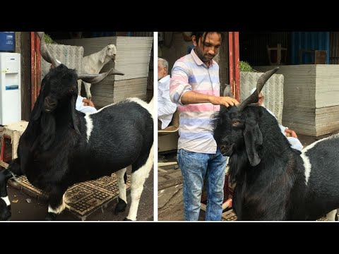 Abid Bhai Ka Shandaar Shaukh | Big Goats