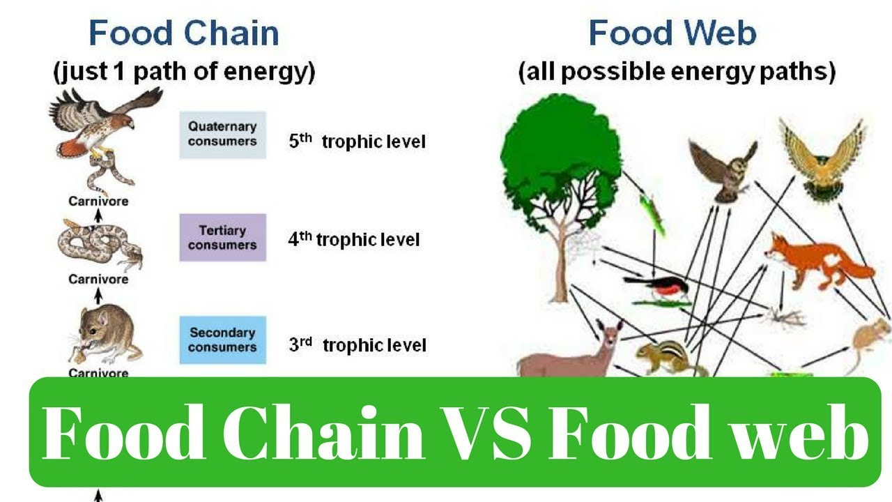 food chains food web ecological pyramids essay Ecological community is the collection of individuals belonging to different species, occupying the same habitat, at the same time the interaction between these individuals for their survival gives rise to various food chains, which ultimately give rise to various food webs.