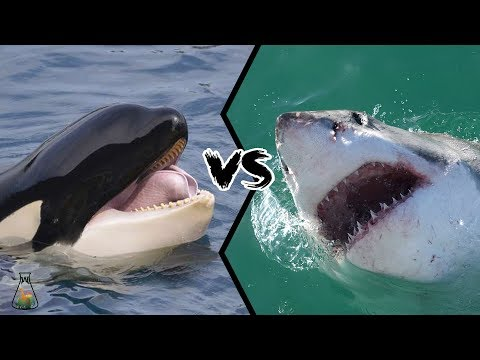 GREAT WHITE SHARK VS KILLER WHALE - Who is the real apex predator?
