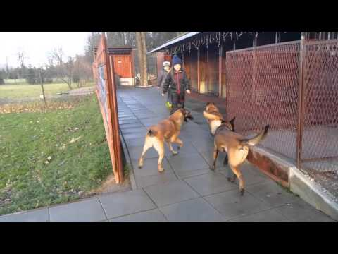 Our Malinois kennel & our passion Marshall Dogs FCI