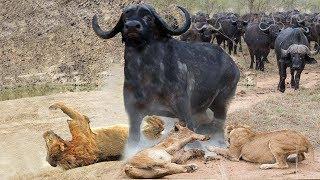 強いバッファロー対5ライオンズ - 男性のバッファローはライオンズによ...
