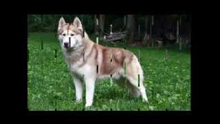 Siberian Husky Fast Facts