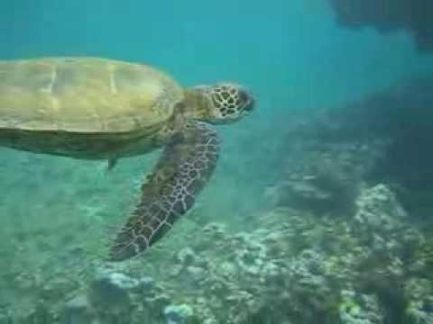Green Sea Turtle Feeding On Coral Reef Youtube