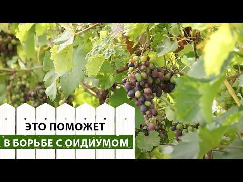 Оидиум на винограде. Причины заражения и способы борьбы | обработка | мучнистая | винограда | виноград | оидиума | лечение | болезни | оидиум | защита | роса