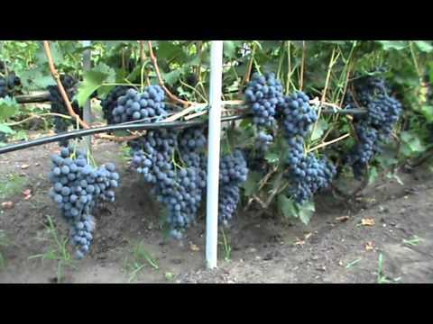 Редкие и лучшие сорта винограда.
