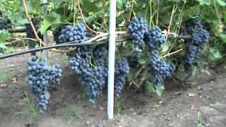 Смотреть видео лучшие сорта винограда видео