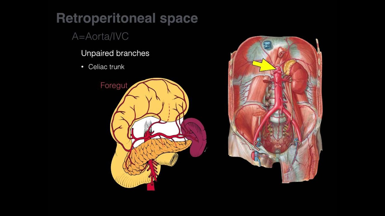 Retroperitoneal space and Retroperitoneal organs - YouTube