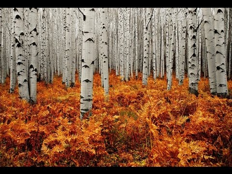 Wonderful Silver Forest in Aspen Colorado United States America