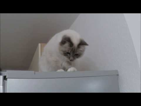 Funny Cats Video: Cat Albus - Goalkeeper on the refrigerator.