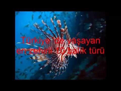 Türkiye'de yaşayan en zehirli 10 balık türü (most dangerous fish)