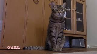 ゴハンの催促が早過ぎて怒られる猫