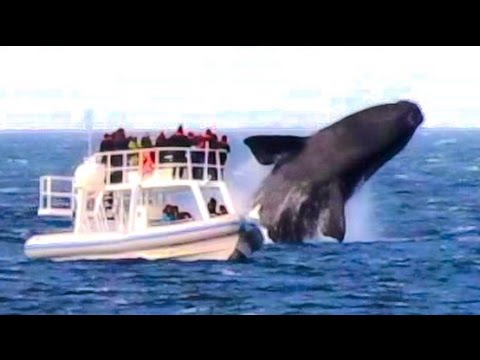 HUGE WHALE JUMPS VERY CLOSE TO BOAT!